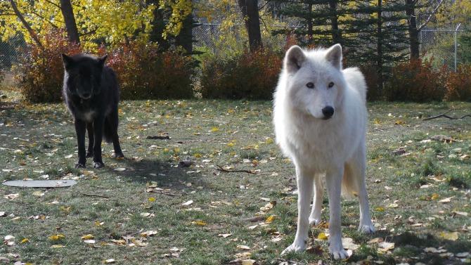 In my backyard: The Yamnuska Wolfdog Sanctuary!