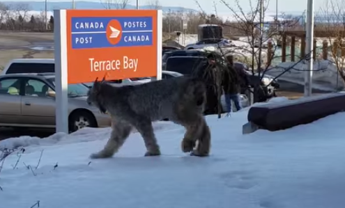 Ontario girl dangerous follows wild lynx around town. I still remain terrified of my cat.