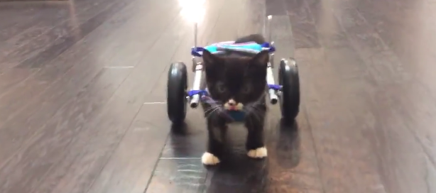 A shelter in BC made this tiny kitty a wheelchair!
