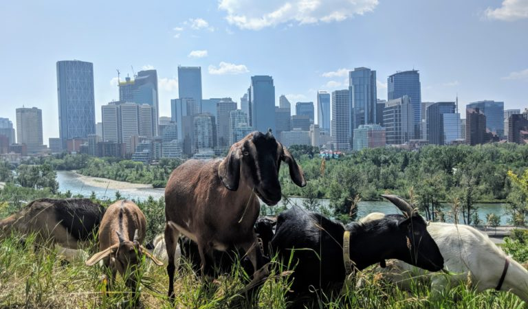 For the next couple of weeks, goats will be working at McHugh Bluff in downtown Calgary!